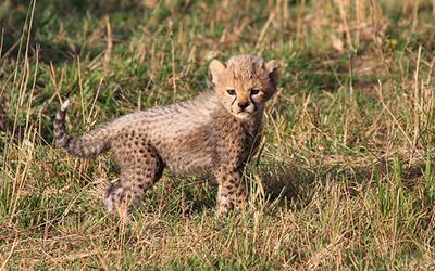 Small cheetah cub looks into the camera in Kenya