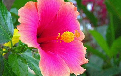 A hibiscus in the public square of Copan Ruinas, Honduras.