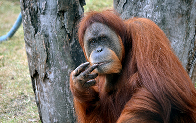 Male orangutang looks into the camera