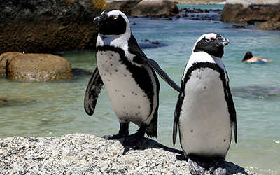 Two penguins on Cape Town beach, SOuth Africa